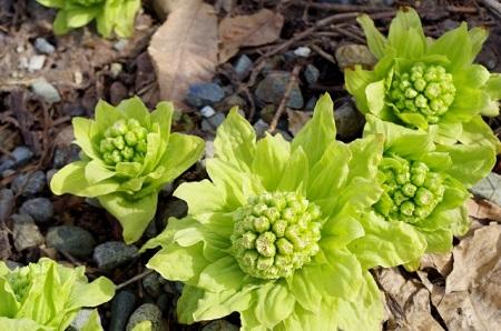ふきのとうとふきって同じ植物なの?違いについて調べてみました!