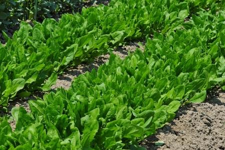 ほうれん草と小松菜の違いは?似ている野菜の見分け方!