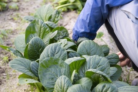 小松菜は生で食べられる?シュウ酸などの毒成分が危険って本当?